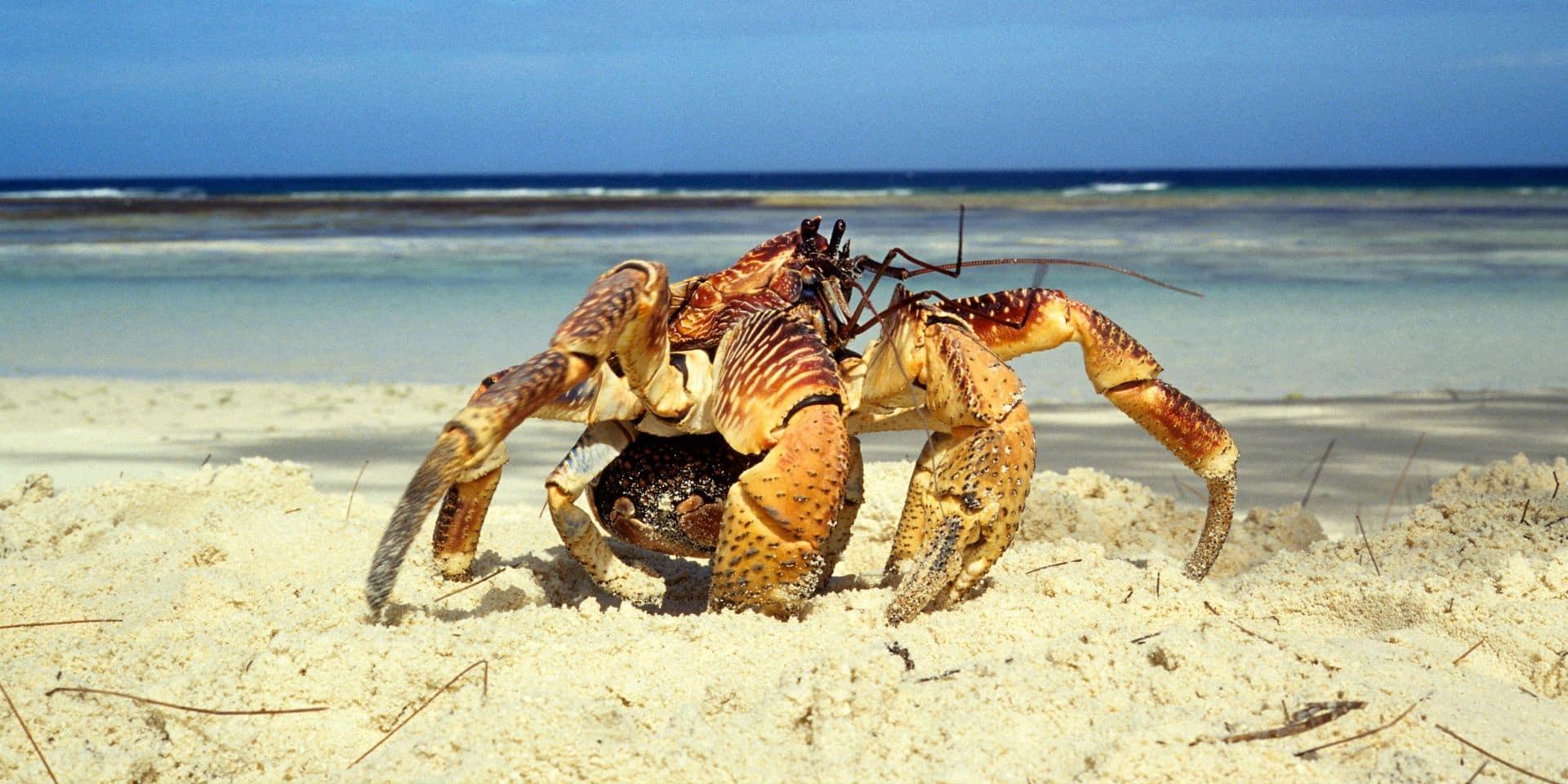 Un crabe géant soupçonné d'avoir volé une caméra à 4.000 dollars