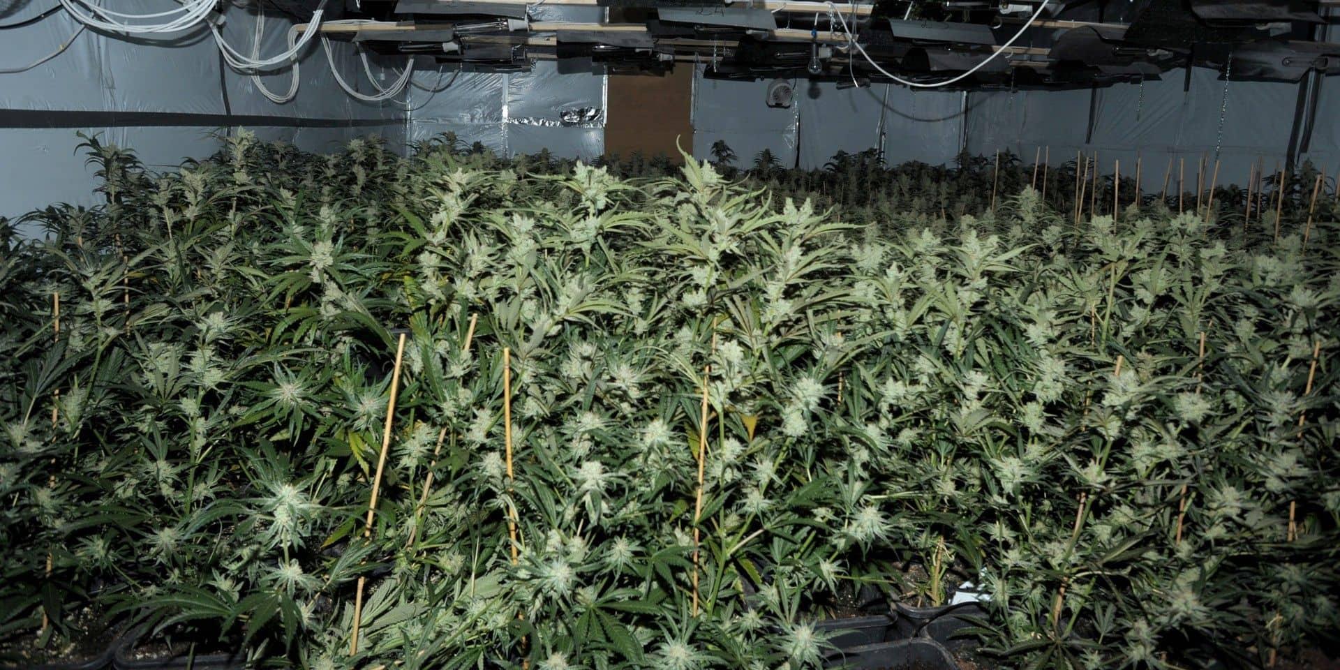 De plus en plus de plantations de cannabis dans les maisons