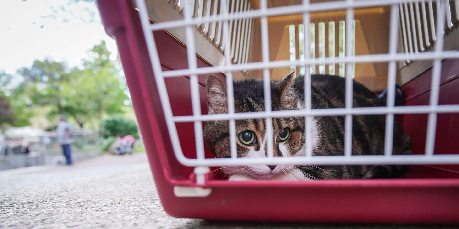 Beloeil : une prime pour faire stériliser les chats…domestiques
