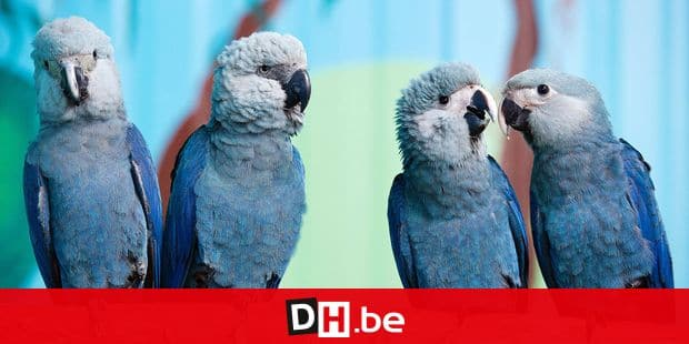 The four Spix's Macaws, Felicitas, Frieda, Paula, and Paul (L-R), sit on a branch at the Society for the preservation of parrot genera threatened by extinction in Schoeneiche, Germany, 11 October 2011. The society takes part in an international breeding programme for the Spix's Macaw which originally stems from Brazil and is considered extinct in the wild. Photo: PATRICK PLEUL Reporters / DPA