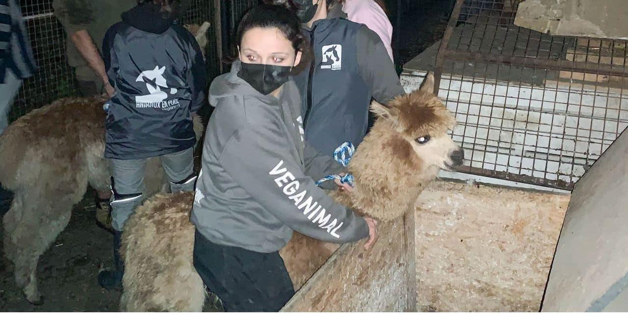 """Une trentaine d'animaux maltraités saisis dans une école musulmane à Forest: """"Je n'ai jamais vu ça"""""""