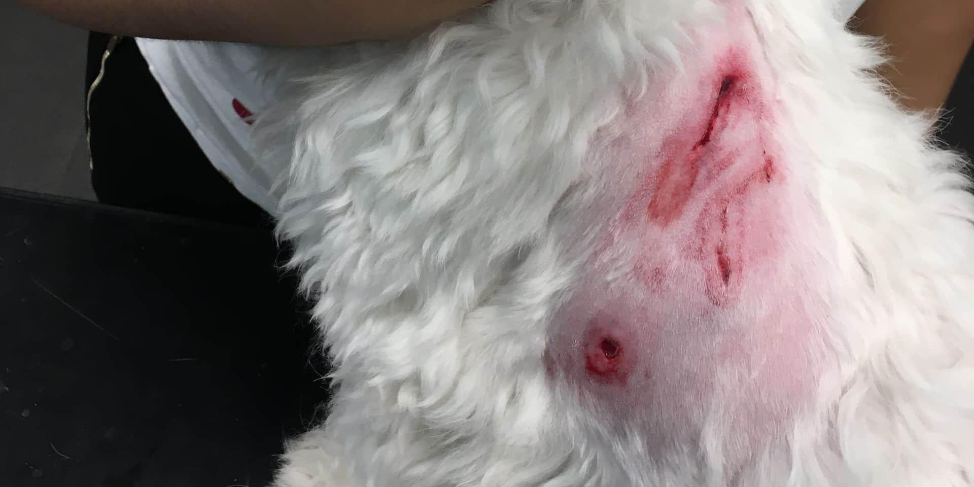 Le petit Boubi agressé par un berger malinois non tenu en laisse à Tubize