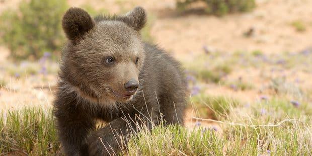 La vie d'un petit ourson mise en danger par le drone qui le filmait ? - La DH