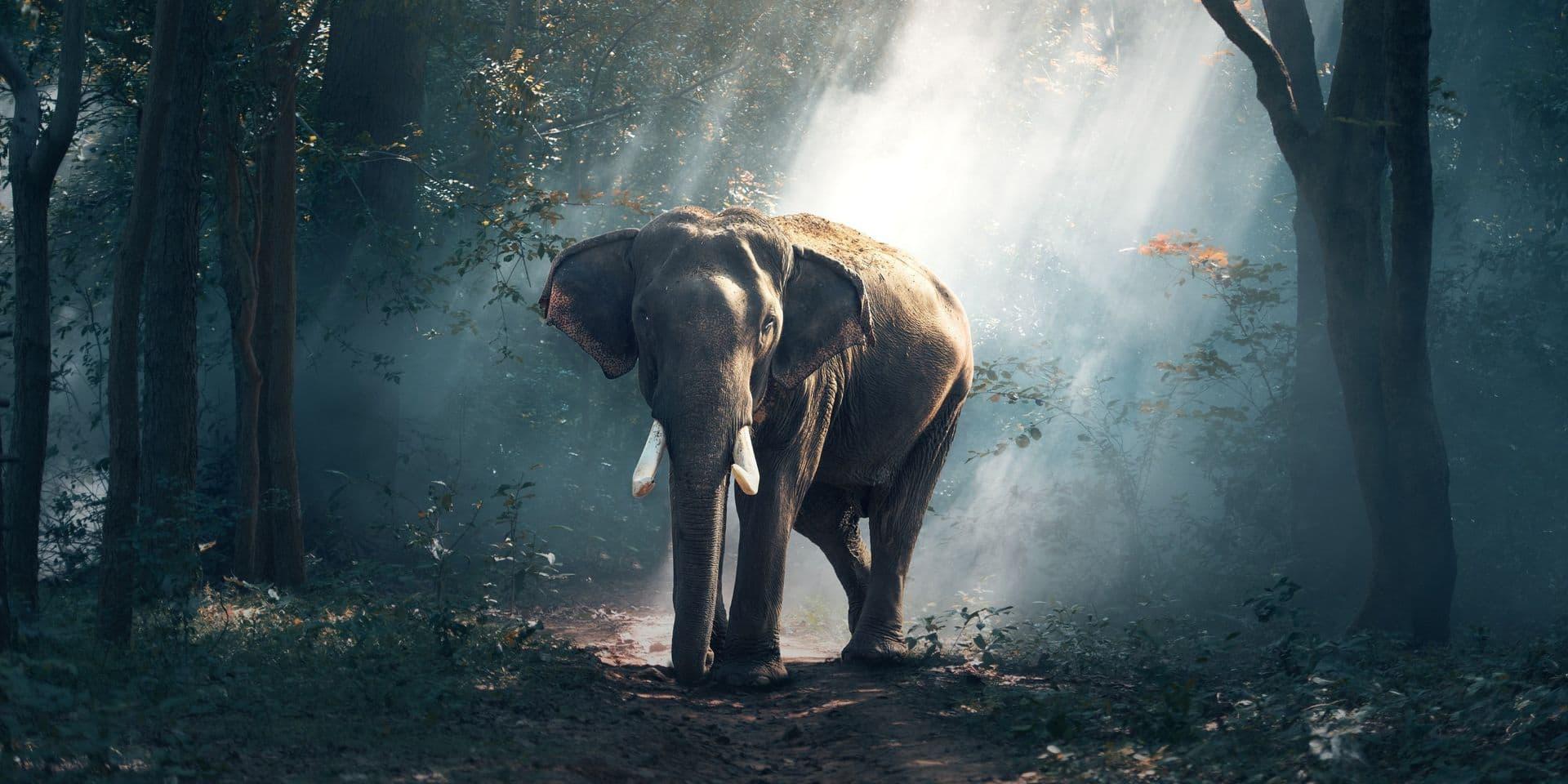 Sans action urgente, l'éléphant d'Afrique disparaîtra dans 20 ans, selon le WWF