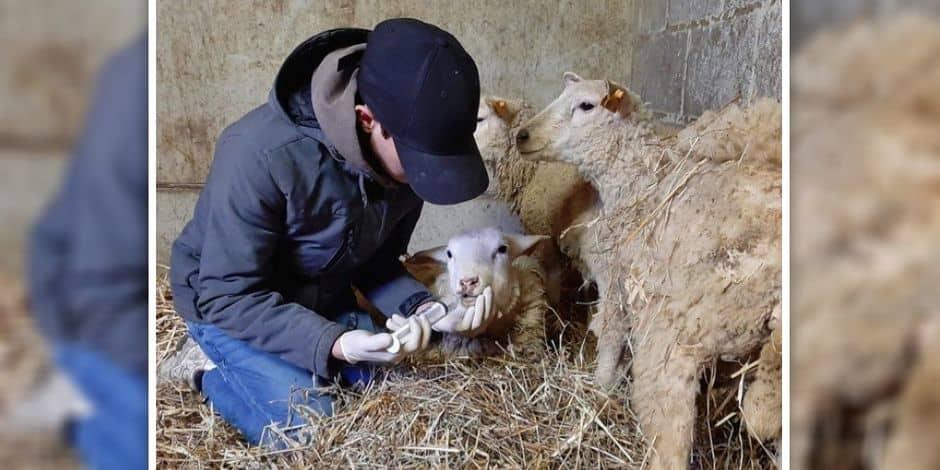 Saisie de seize moutons à Court-Saint-Étienne: deux brebis sont décédées au refuge