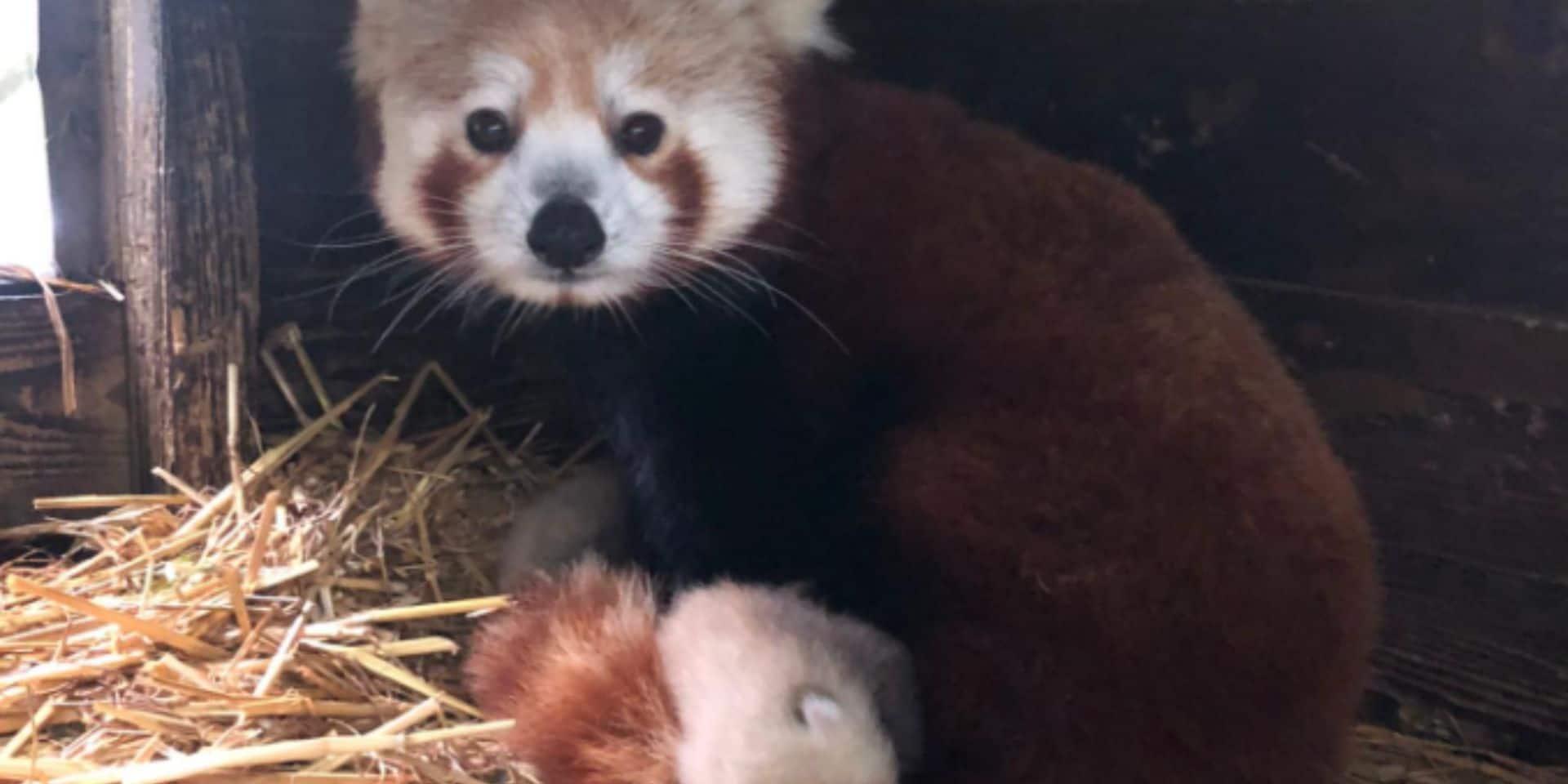 Deux adorables bébés pandas roux sont nés à Pairi Daiza