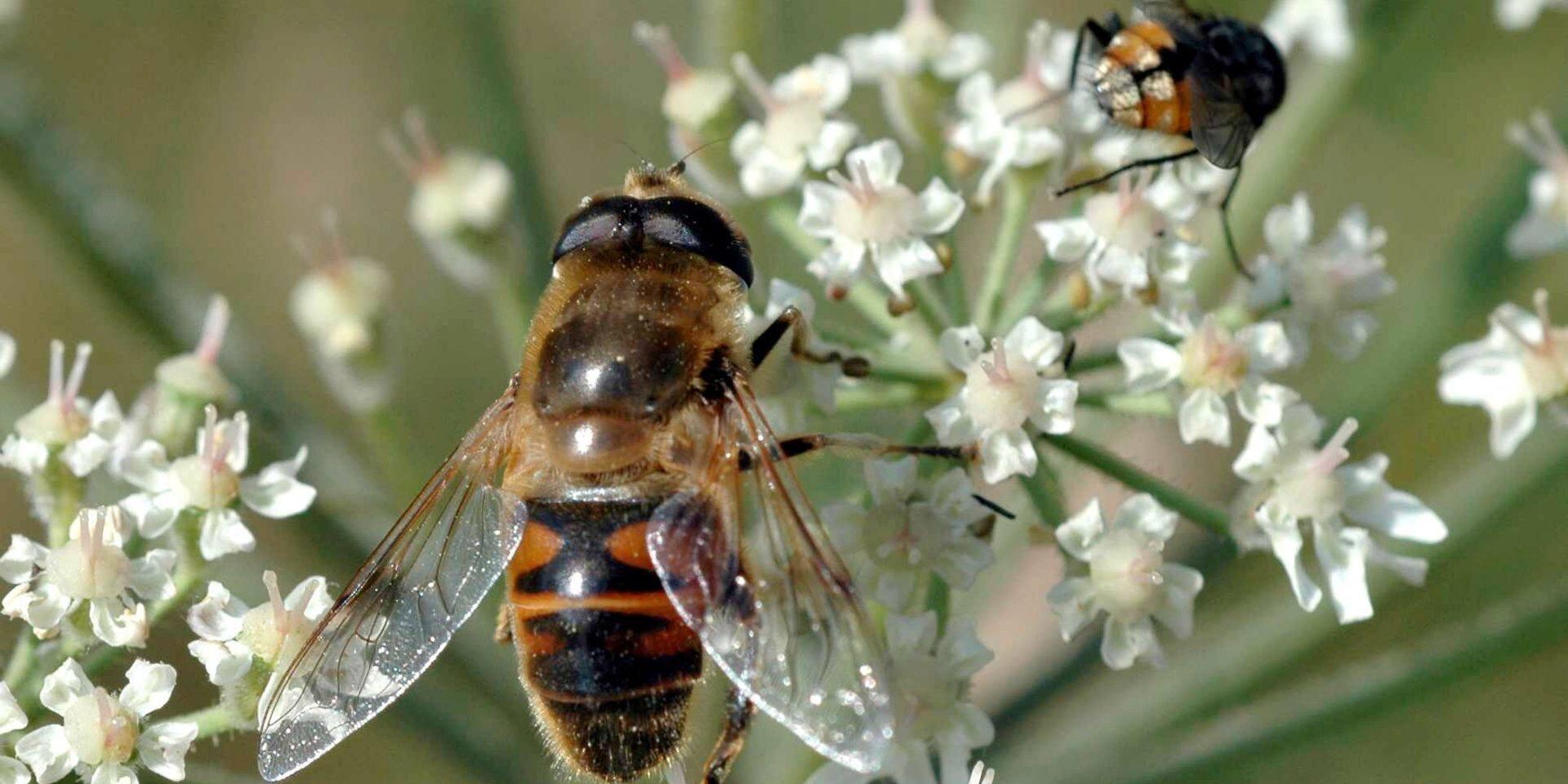Une table ronde pour les abeilles domestiques à Bruxelles