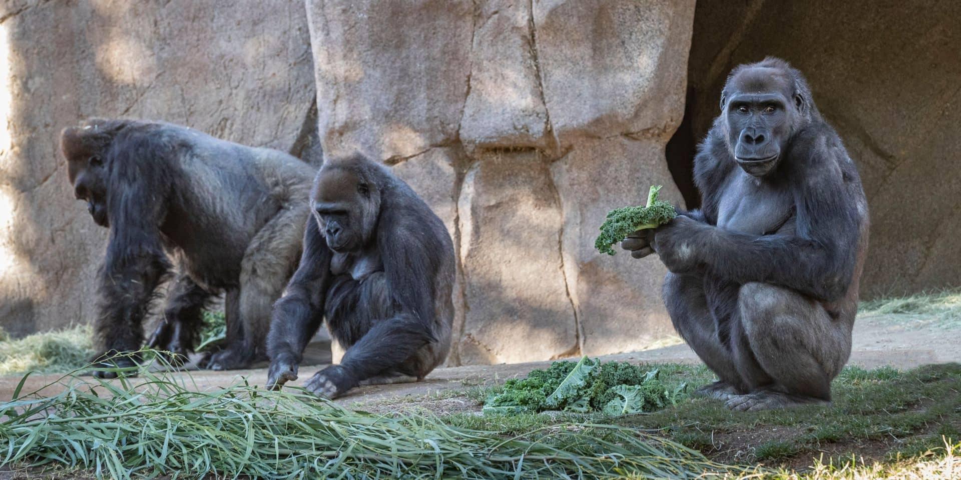 Une première: des gorilles d'un zoo positifs au coronavirus et placés en quarantaine (vidéo)