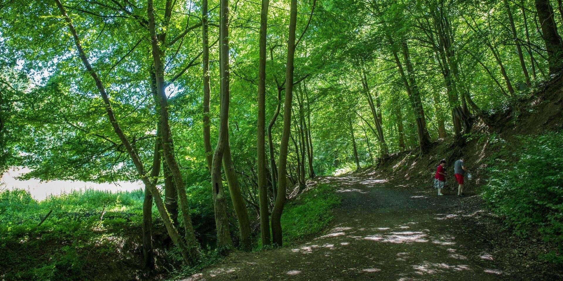 Braine-le-Comte: des bouleaux abattus dans le bois de la Houssière pour restaurer la biodiversité