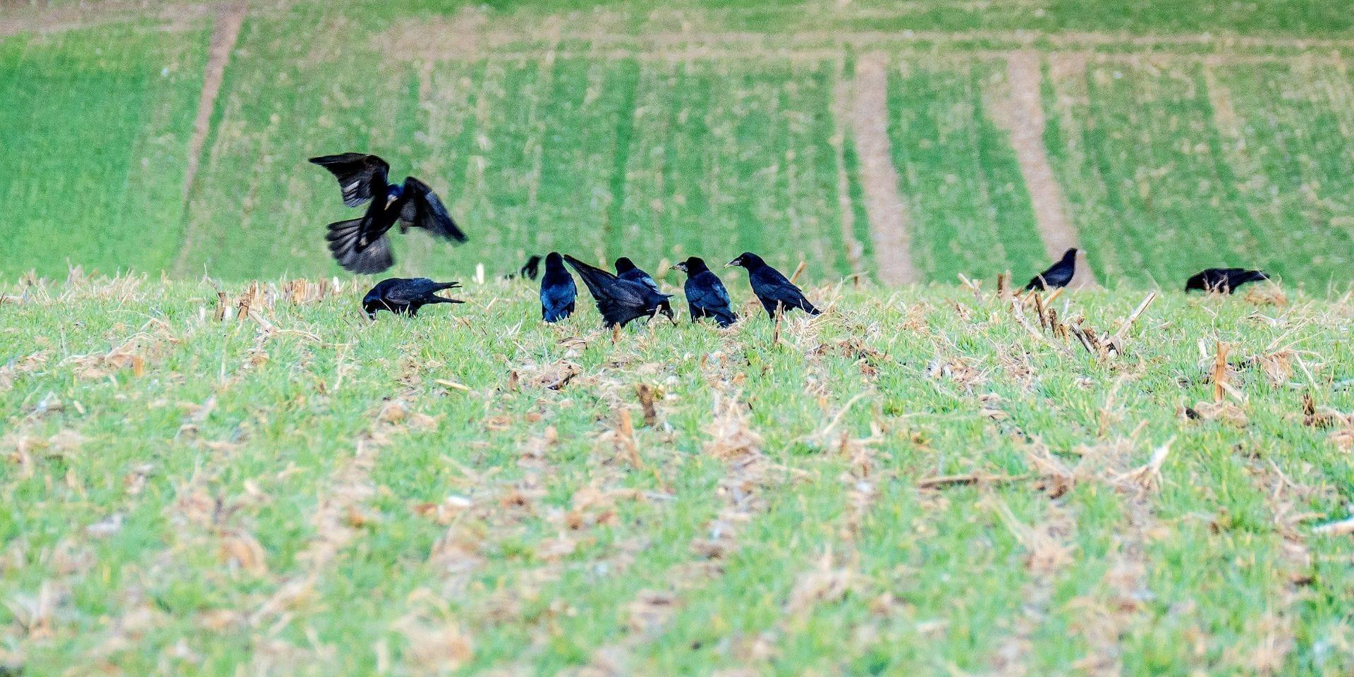 """Les corneilles et les blaireaux accusés de détruire champs et jardins: """"on dramatise la situation"""", répond Natagora"""