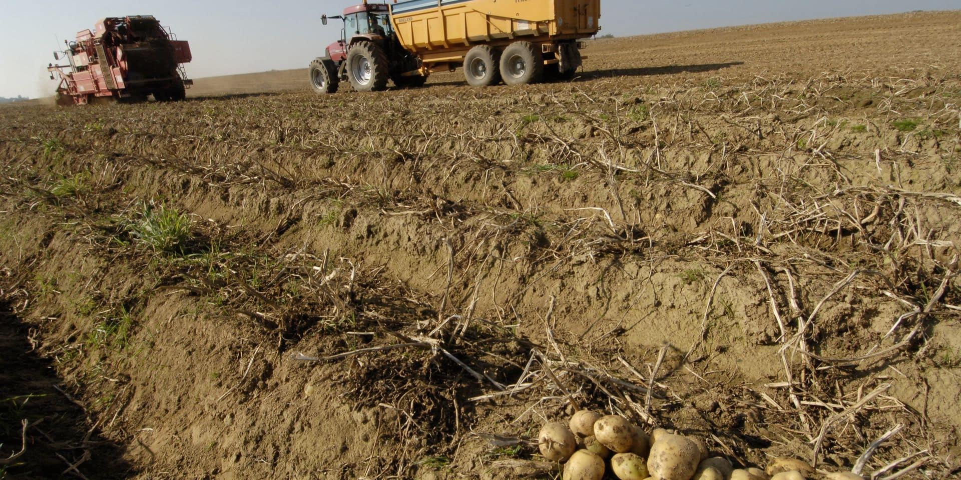 La patate belge bio victime de sa qualité et de la concurrence étrangère : 1300 tonnes restent à écouler !