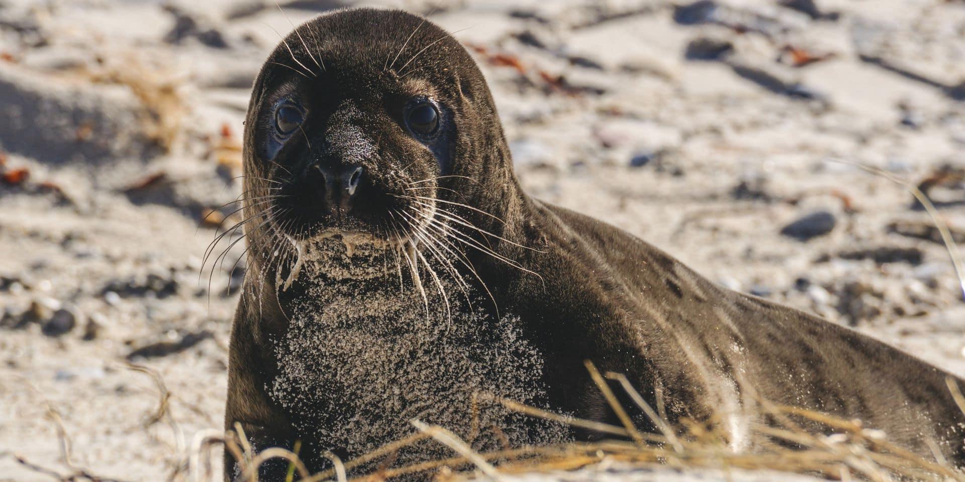 """Les phoques de plus en plus nombreux à la côte belge : """"ça n'a plus rien d'inhabituel"""""""