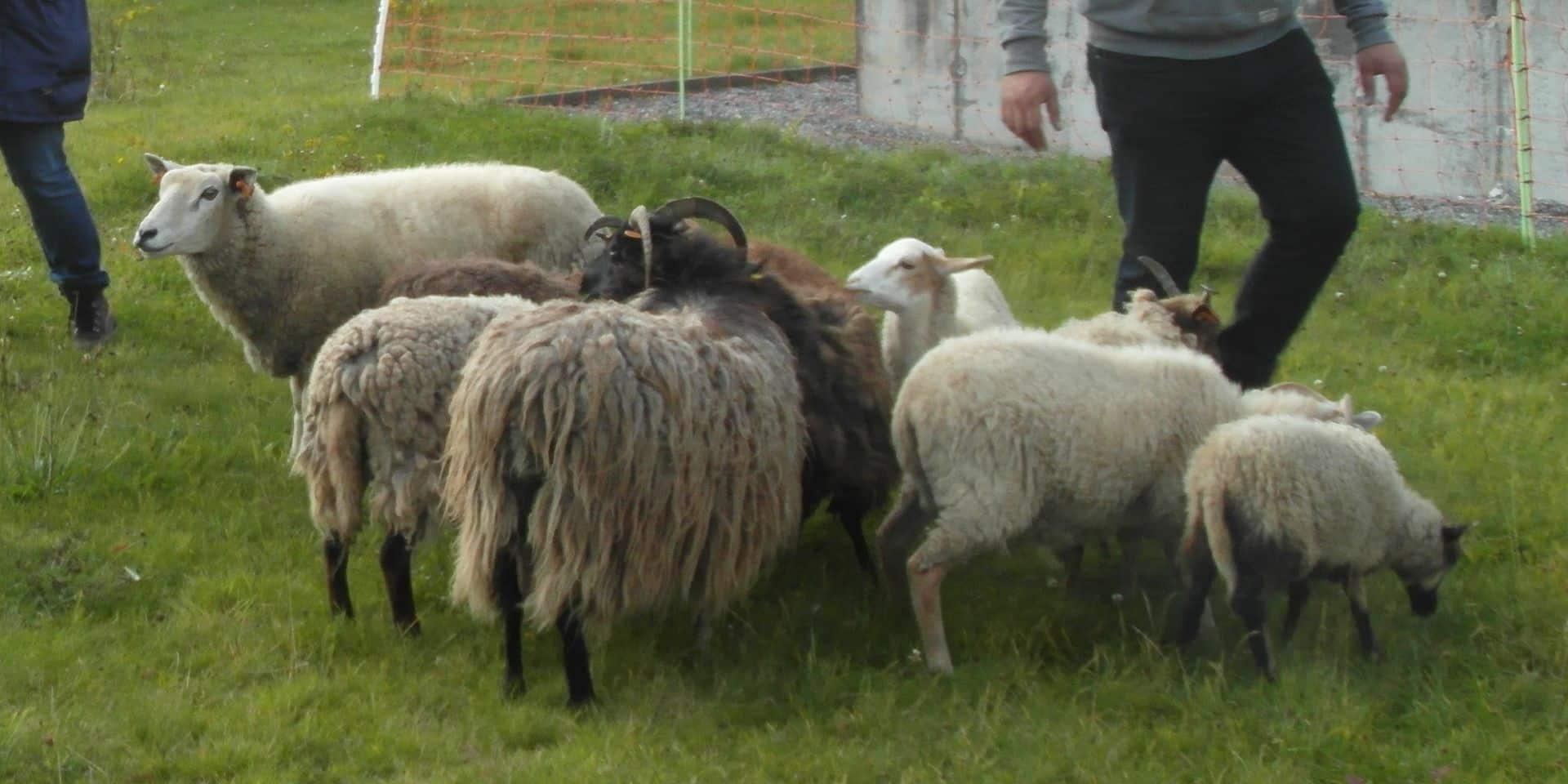 Igretec: les moutons des stations d'épuration sont nominés à Bruxelles