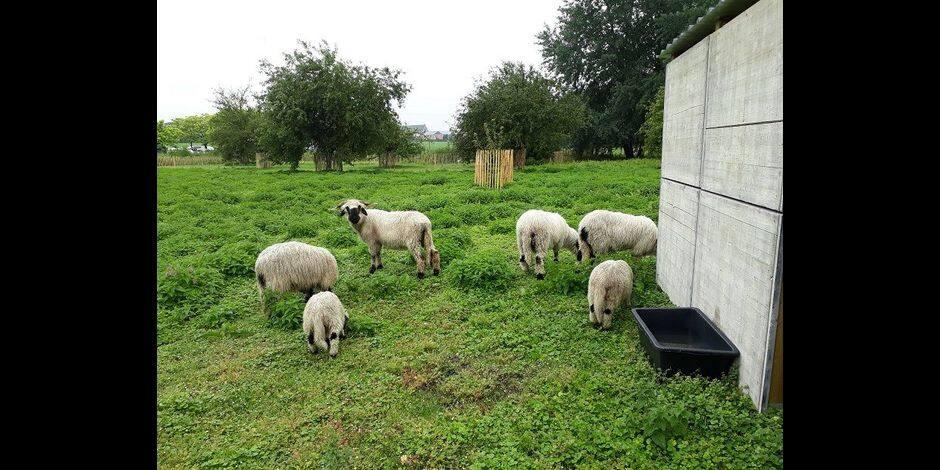 Wallonie picarde : pour tondre ses espaces verts, Ipalle choisit la bêle solution !