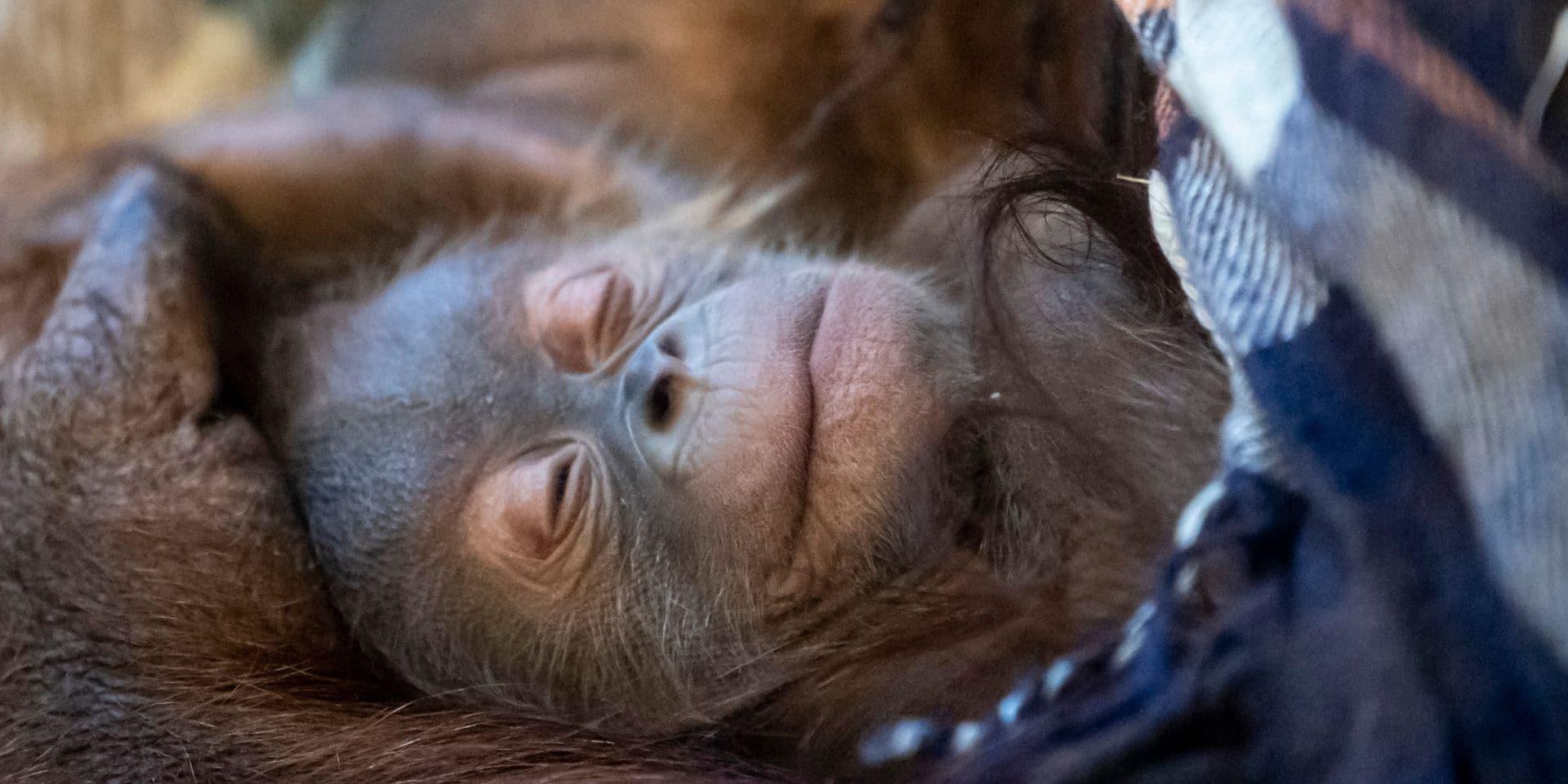 Nouvelle naissance à Pairi Daiza: la famille des orangs-outans s'agrandit