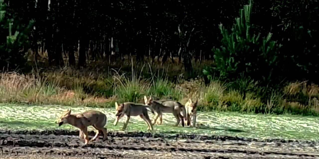"""Les loups observés à plus de 50 reprises en un an en Flandre: """"Le loup est désormais pleinement établi dans le Limbourg"""""""