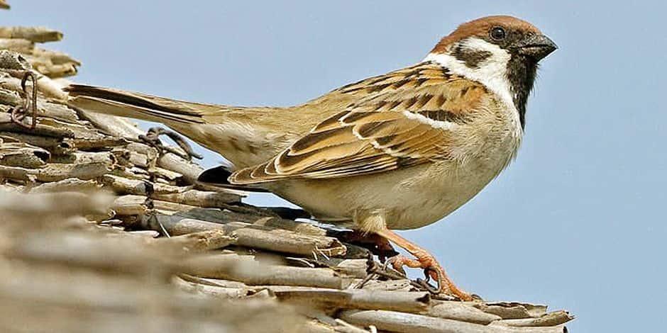 Piégés par l'Unité antibraconnage: 1.322 oiseaux saisis et une indemnisation de préjudice qui pourrait atteindre 1,75 million pour 7 tendeurs wallons!