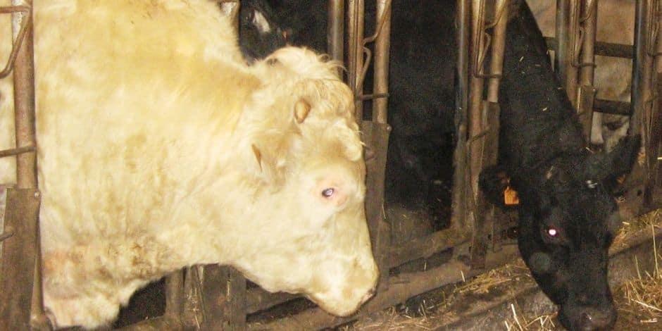 La maladie de la langue bleue détectée dans un élevage de Neufchâteau