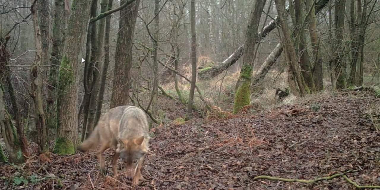 """Premières images en plein jour de la louve Noëlla dans le Limbourg: """"C'est la confirmation qu'elle se porte bien"""""""