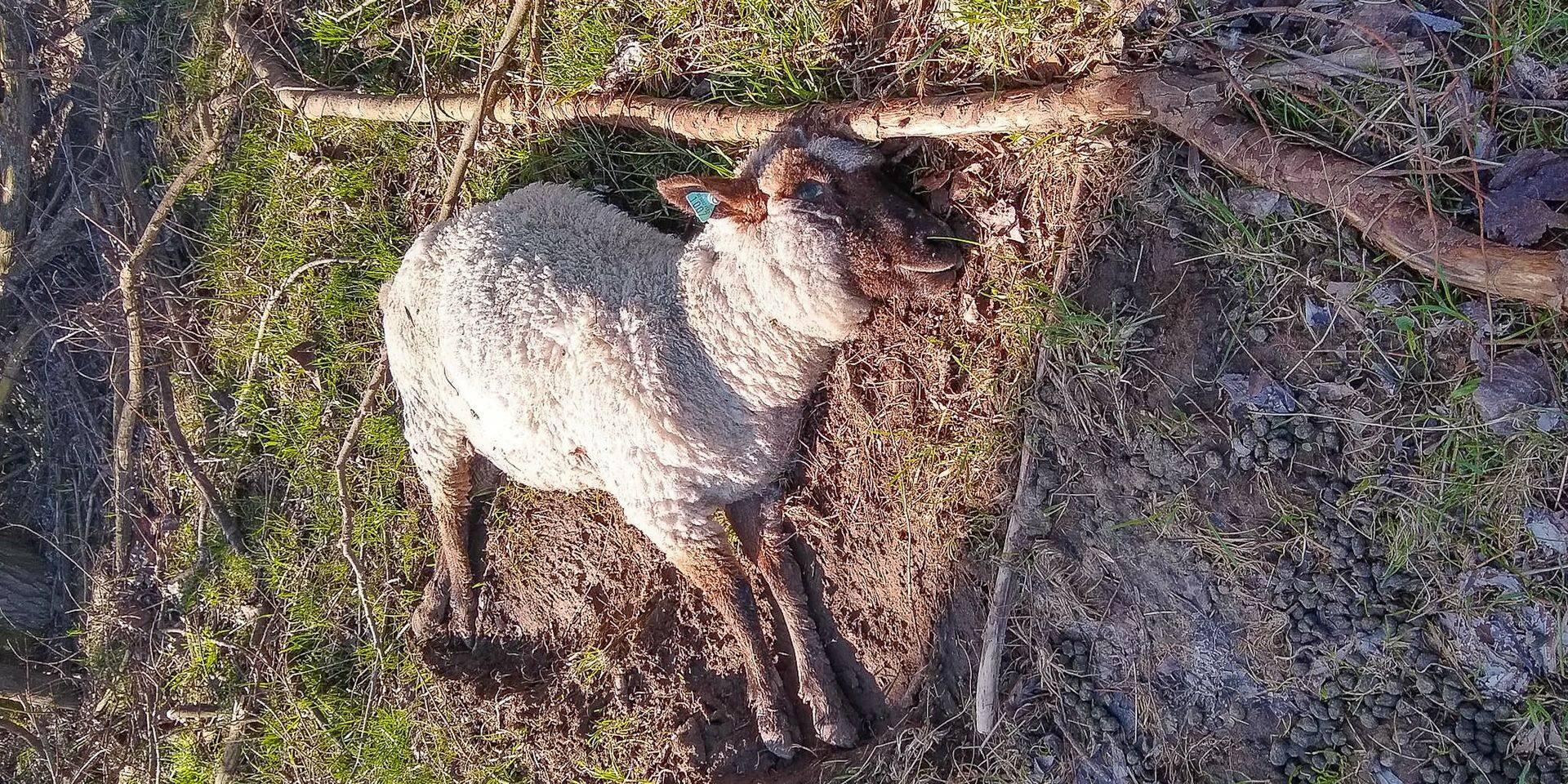 Flobecq: neufs moutons morts de faim découverts dans une prairie !
