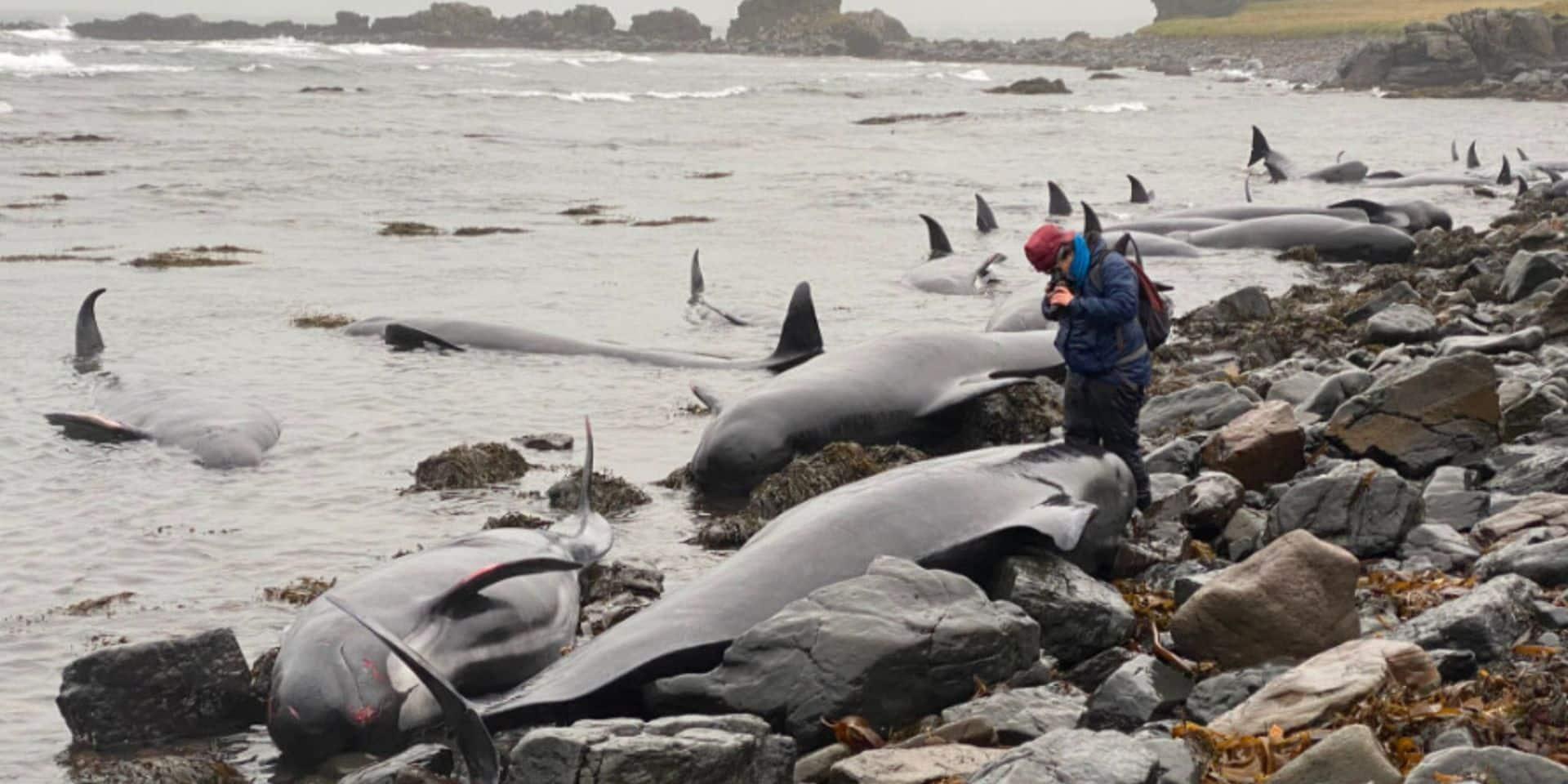 Terribles images: une cinquantaine de baleines s'échouent en Islande