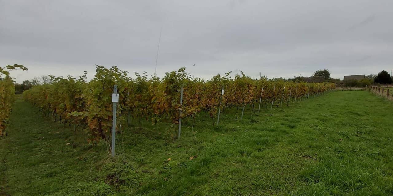 Le gel n'a pas épargné le vignoble de Sirault