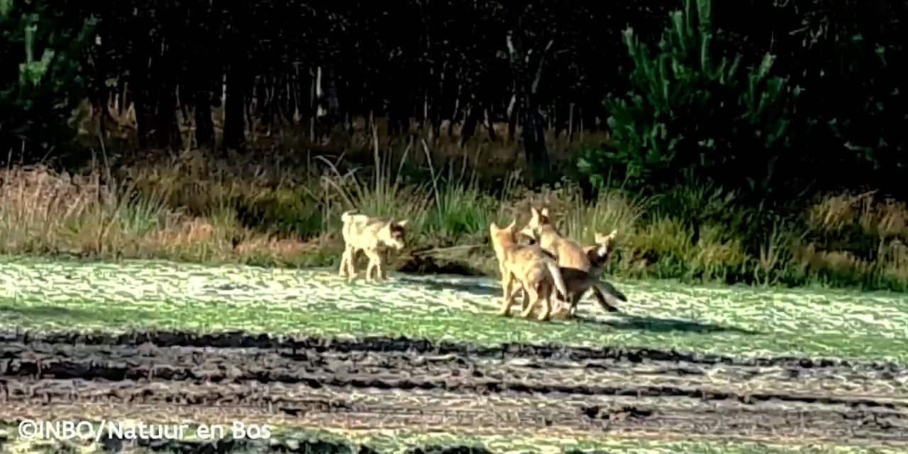 La louve Noëlla a en réalité eu cinq louveteaux, et celui percuté par une voiture a survécu