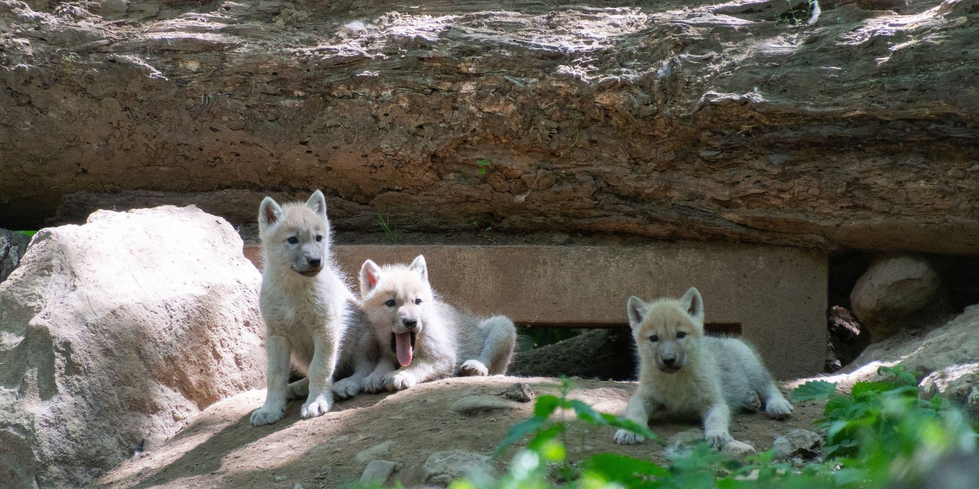 Des quintuplés au Parc Animalier de Han-sur-Lesse : cinq louveteaux arctiques viennent de naître